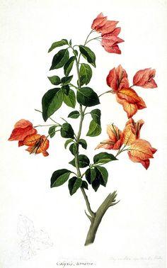 botanical drawings - Buscar con Google