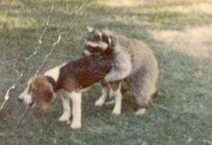 Hund & Dachs - hm wohl eher Waschbär