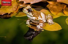 "Ian Cook is a multi-talented photographer from England and he is participating in several photography contests on Tallenge with multiple photos in each contest. This is a picture of an ""Amazon Milk Frog"" he found when he was hiking with his friends in a forest and it is a beautiful entry in the #Macro #Photography #Contest on #Tallenge. Click here, http://tlng.me/1Hh3uDa to vote for this entry. You can participate in any of the cool contests on Tallenge by clicking here…"