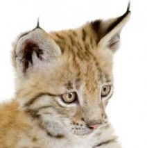 This is my real #spirit #animal, and representing the #NorthTribe, the Eurasian Lynx.  Like me, this cat sleeps during the day and hunt at night. They are considered #endangered due to their low numbers in the wild. The Eurasian Lynx was once heavily hunted for its coat, and here in Norway, because the farmers consider them a threat.  I'm really hoping to see my #InnerAnimal, the Lynx become part of the #tribe and included in the #SpiritHood family. New design for the Spring collection…