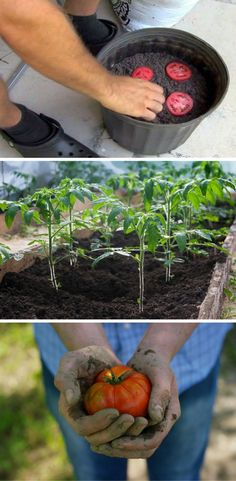 Here is a simple tutorial on how to grow tomatoes at home. This method is so easy, you get more seedlings for less than half the work! #summervegetablegardening