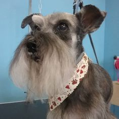 Fonzie #wagsmytail #tucsondoggrooming #doggrooming #schnauzer A well groomed dog is a well loved dog! Call us today to schedule your dog grooming appointment 520-744-7040