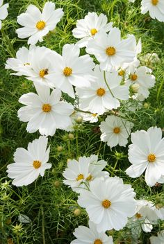 Cosmos Flowers, Flowers Nature, Cut Flowers, Cosmos Plant, Summer Flowers, Beautiful Flowers, Tropical Flowers, White Cosmo, Pure White