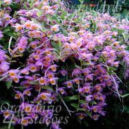 Orquídea Dendrobium loddigesii - Com Botão/Flor