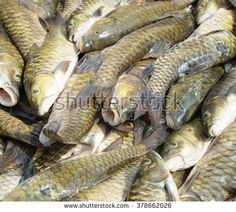 Malaysian fresh water fish called Malaysian Mahseer or Kelah or Pelian. This fish is famous for game fishing in nature river but only can be found in preserve nature river mostly in Sabah Borneo.