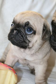 Cute pug puppy looking upward so cutely .... (Click on picture to see more stuff)