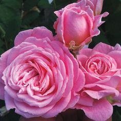 Summer Romance™ Parfuma® Floribunda Rose. Redolent of Licorice and Packed with Soft Petals! Perfume Your Home and Garden with these Deliciously Scented Blossoms. Gardeners who have struggled with blackspot in humid and rainy climates will rejoice at the arrival at this new ultra-fragrant, ultra blackspot resistant shrub rose! Summer Romance™ offers r...