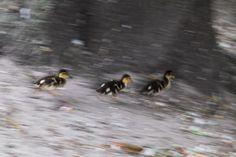 Ducks on the run!