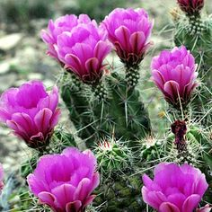 Echinocereus Hedgehog cactus- These desert-friendly plants thrive with hardly any water even in California's hottest climates. The plants produce purple-red flowers and inch-long, edible fruits. Clumps spread up to three feet wide, so plant in sizeable containers.