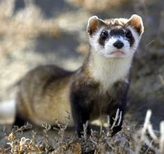 Black-footed Ferret   (Mustela nigripes)   The Black-footed Ferret is sometimes called the prairie bandit because of the coloration of its face. It is a member of the weasel family and it evolved in North America. It is a different species from the European ferret that you can buy in pet stores. Considered the most endangered mammal in North America, the Black-footed ferret was listed as endangered in 1967 by the USFWS.