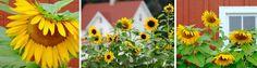 Homestead Revival: A New Tiller For The Garden