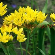 Yellow Allium moly Jeannine are originally from the Spanish Pyrenees, this vigorous cultivar has showy bright yellow diameter flower heads and attractive flat bladed blue-green foliage. Plants, Foliage, Salvia Greggii, Bulb Flowers, Low Water Plants, Fall Flowers, Perennials, Allium, Flowers