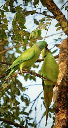 Nature Animals, Animals And Pets, Cute Animals, Beautiful Love Images, Beautiful Birds, Green Parrot Bird, Ring Necked Parakeet, Animals Kissing, Rare Birds