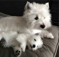 Your daily dose of #Westie Cuteness.