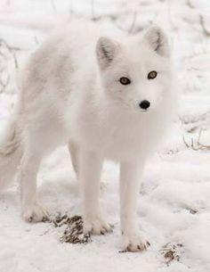 Arctic Fox | Detroit Zoo