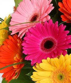 Resultados de la Búsqueda de imágenes de Google de http://paramoroses.cl/wp-content/uploads/2012/06/gerberas-multicolor.jpg