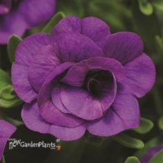 'Double BLUE'  Calibrachoa