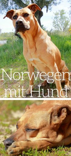 Traveling to Norway with a dog is not as complicated as many think. Here you will find the current entry requirements and all information on what to look out for when entering Norway with your dog. Yorkie, Chihuahua, Wilderness Survival, Camping Survival, Dog Travel, Train Travel, Norway Vacation, Capitol Reef National Park, Travel Goals