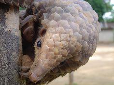 Tree Pangolin (Manis tricuspis)