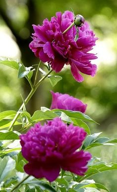 Peony--love this color