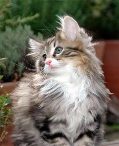 Norwegian Forest Kitten, close cousin to the Maine Coon Beautiful Kittens, Cute Cats And Kittens, Pretty Cats, I Love Cats, Crazy Cats, Cool Cats, Kittens Cutest, Animals Beautiful, Cute Animals