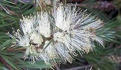 Callistemon salignus, Willow Bottlebrush, 9cm 1 - 1.5Ft