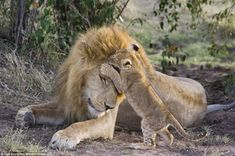 Hi dad: The seven-week-old cub appears to plant a kiss on his father's head