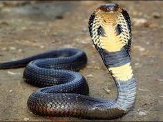 black mamba vs King Cobra  Snake