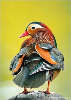 Pato de mil colores