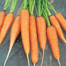 WestCoastSeeds: Scarlet Nantes Carrots