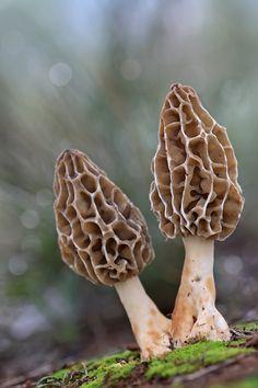 Morel mushrooms   by carlespoveda