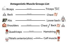 Antagonistic-Muscle-groups-List