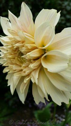#dahlialove Cafe au Lait D Flowers, Dahlias, Winter Garden, How To Take Photos, Magick, Beautiful Gardens, Autumn, Stone, Floral