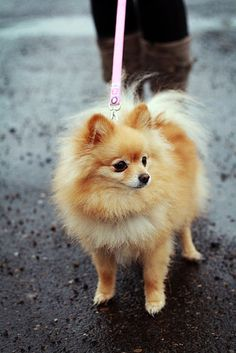 pomeranian ... this one looks like my second Pom baby, Lacey <3