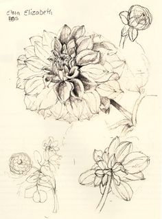 WENDY HOLLENDER'S TECHNIQUE for drawing a dahlia in full bloom - botanical illustration