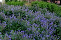Scutellaria incana - Hoary Skullcap. Electric blue flowers in July. Shear after flowering. 3 feet tall. Dry ok.