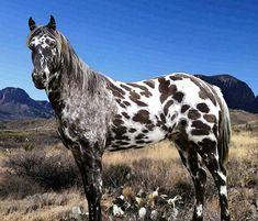 Appaloosa stallion, DREA Sundys Fireagle.