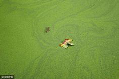 """Qingdao um passeio rio Ophelia nuvens Blanket """"tapete verde""""  Com o assintótica de ar frio de inverno, Ophelia vai morrer lentamente."""