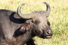 Eye See - African Buffalo Syncerus caffer Eye See - The African buffalo or Cape buffalo is a large African bovine. It is not closely related to the slightly larger wild water buffalo of Asia and its ancestry remains unclear.