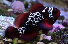 swoledwarf:  This is a Lightening Maroon Clownfish   from  The REZs EDGE - Destruction & Redemption by author/writer Brad Jensen  FULL CHAPTERs PRE-RELEASED (Read 4 Free - click link here) http://bradjensen.wix.com/authorbradjensen  Please REBLOG/SHARE if you dig it Thanks Folks!  Watch for the Book release date here: http://authorbradjensen.tumblr.com/ or here: http://www.facebook.com/bradjensenauthor/ or here: http://bradjensen.wix.com/authorbradjensen  FOLLOW ME for killer pictures…