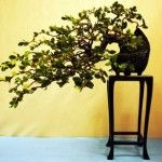 JP: Coast Live Oak (Quercus agrifolia)2