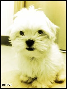 Teacup Malshi   (Maltese + Shih Tzu mix)--this is what my Charly looked like when I first got him
