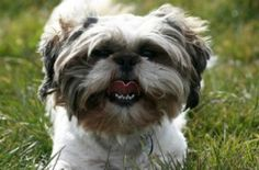 Trainer Erica Wittenberg offers expert advice to a frustrated dog mom whose 2-year-old Shih Tzu barks maniacally at every dog she sees.