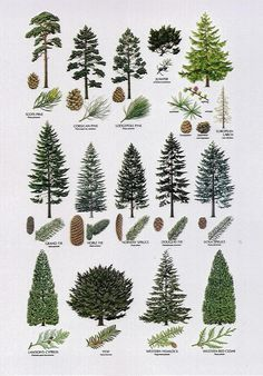 Conifers (C). http://www.howto.co.uk/abroad/move-to-spain/trees/. 1. Pine-. 2. Fir-. 3. Larch-. 4. Juniper*. 5. Cypress/ kiparisas*. 6. Yew/ kukmedis*. 7. Cedar/ kedras*. 8. Hemlock.