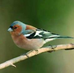 Chaffinch (Fringilla coelebs) - another popular garden bird. I wonder how they'll fare in the birdwatch this year? Pretty Birds, Love Birds, Beautiful Birds, Animals Beautiful, Small Birds, Little Birds, Colorful Birds, Chaffinch, British Garden