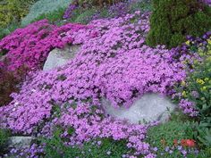 Pink ground cover