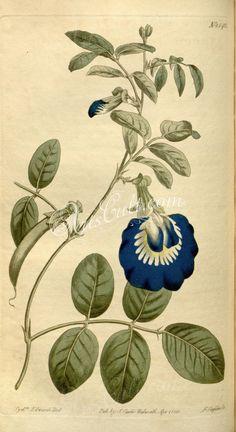 1542-clitoria ternatea, Wing-leaved Clitoria      ...