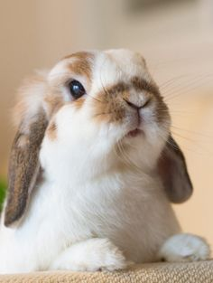 Holland Lop Ear Bunny; this bunny is so beautiful and so precious to my sight.