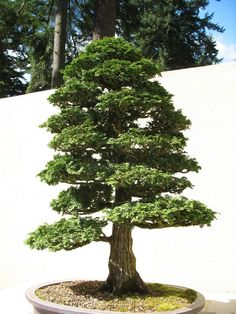 Falsecypress, Hinoki or Hinoki Cypress - USU Tree Browser