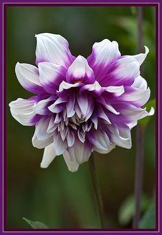 ~~A touch of purple ~ Dahlia by TT_Mac~~